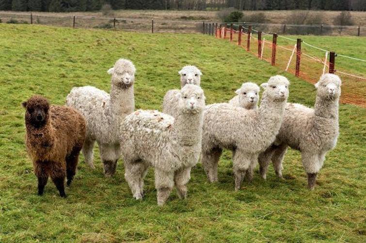 alpacas af te halen of bezorgen