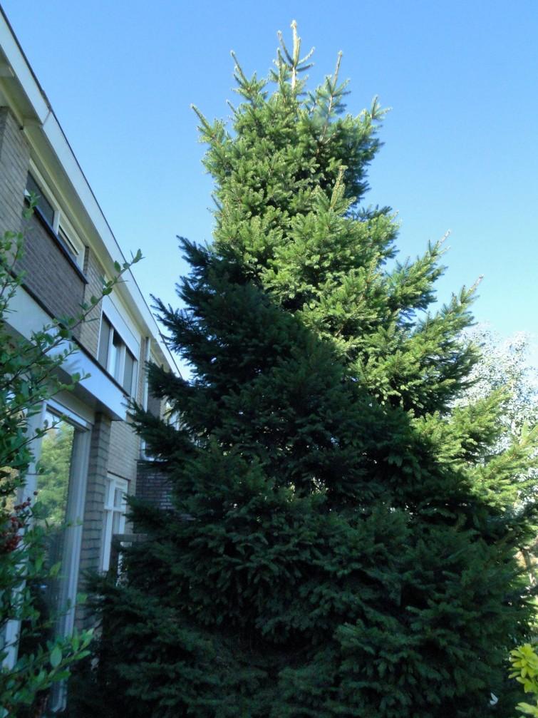 Kerstboom, ruim 5 m hoog