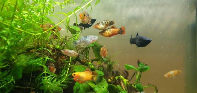 platy aquariumvissen